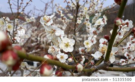 매화나무 51335500