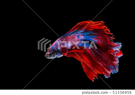 Red and blue betta fish 51336956