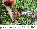 新加坡動物園猩猩表演 51337025