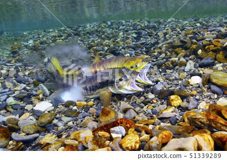 Upstream spawning of salmon 51339289
