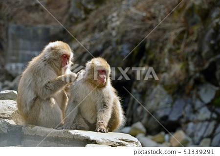 털 고르기 속의 원숭이 51339291