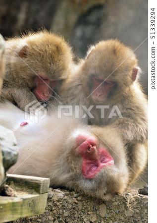 在父母和孩子的長毛的猴子 51339294