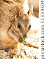 Wallaby baby 51339304