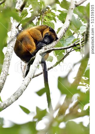 在假日期間,樹上升的袋鼠 51339305