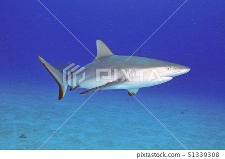 灰葉鯊 51339308