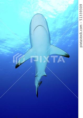 鯊魚肚 51339309