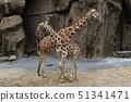 tanzania giraffe close up portrait 51341471