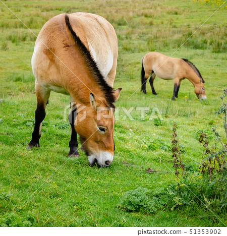 Asian Wild Ponies Grazing 51353902