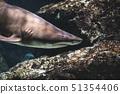 Shark in Aquarium 51354406