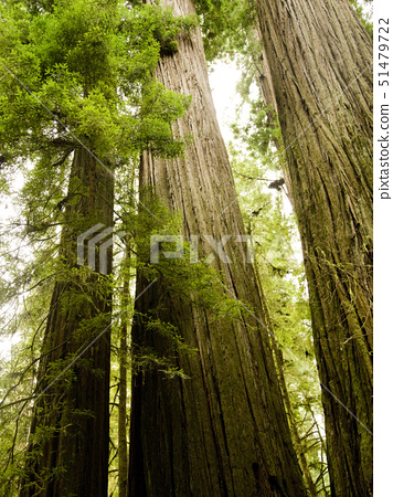 giant redwoods 51479722