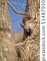 나무 줄기에 나타난 다람쥐 (홋카이도) 51487930