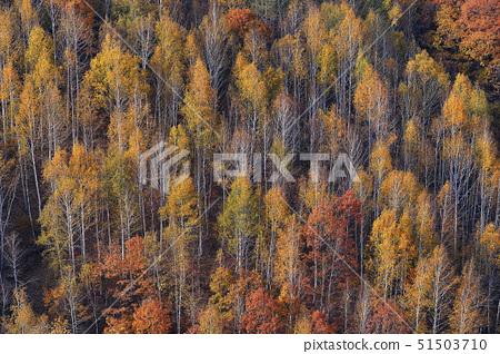 자작나무,인제군,강원도 51503710