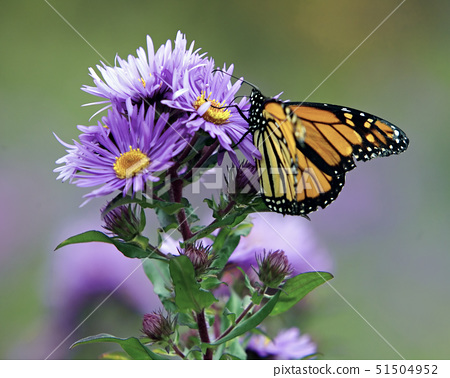 Close-up of a Monarch butterfly (Danaus plexippus) sucking nectar from a flower 51504952