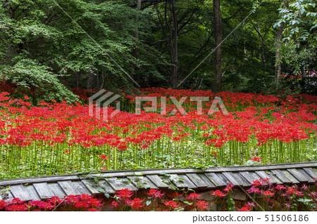 꽃무릇,전남 51506186