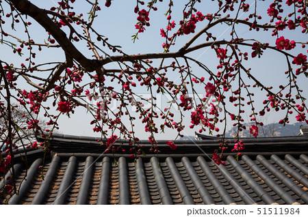 개봉숭아나무,개복숭아꽃,기와,기와지붕,북촌,서울 51511984