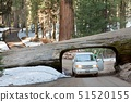 USA,California,Sequoia National Park,Front view of car driving through tree 51520155