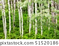 USA,Washington State,Aspen Trees near Leavenworth 51520186