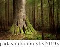 USA,Washington State,Big Sitka Spruce Tree,Near La Push 51520195