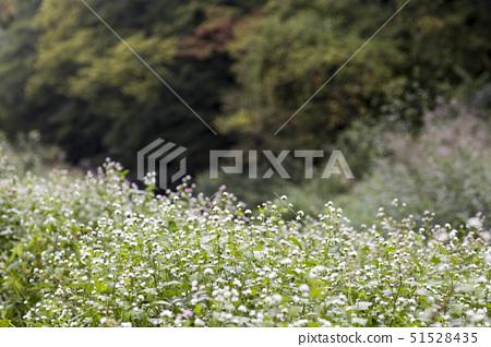 꽃,선운산,고창군,전북 51528435