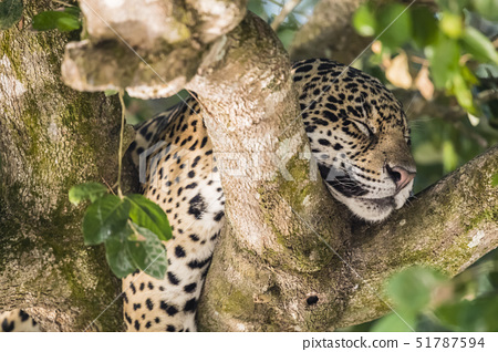 An adult jaguar (Panthera onca), sleeping in a tree on the Rio Tres Irmao, Mato Grosso, Brazil, Sout 51787594