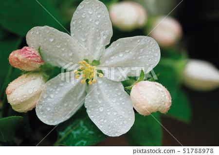 꽃사과꽃 51788978