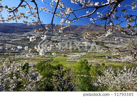 Cherry trees in bloom in the Jerte Valley, Extramadura, Spain, Europe 51793385