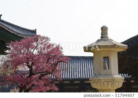 석등,홍매화,통도사,영축산,양산시,경남 51794907