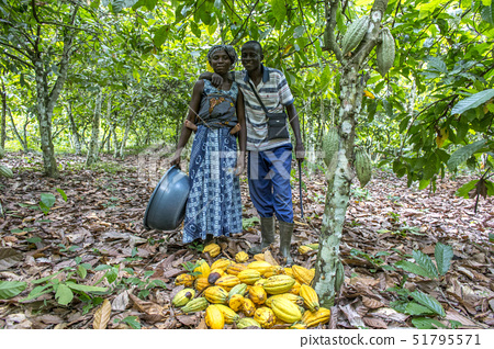 Farmer harvesting cocoa (cacao) with his wife, Ivory Coast, West Africa, Africa 51795571