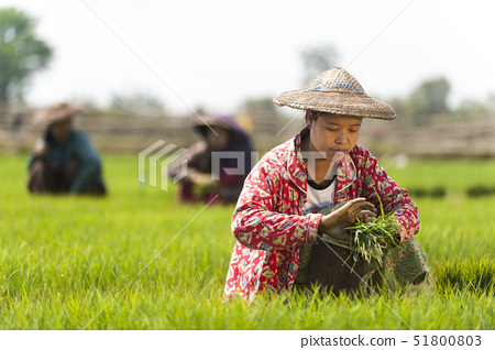 A woman harvests young rice into bundles to be re-planted spaced further apart, Kachin State, Myanma 51800803