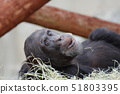 웃는 침팬지 51803395