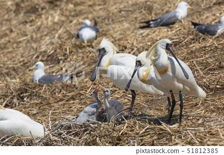 저어새,새끼,둥지,연평도,옹진군,인천 51812385
