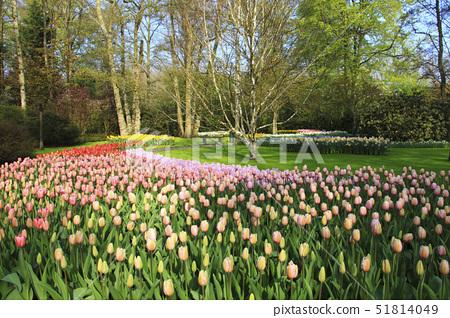 큐켄호프꽃축제,리세,큐켄호프,네덜란드 51814049