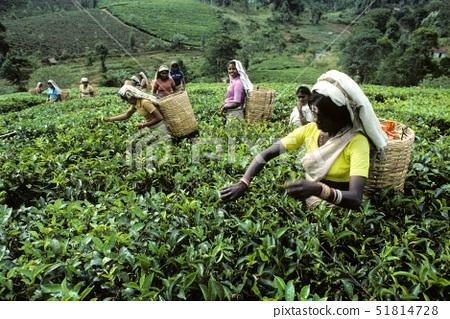 Sri Lanka,tea harvesting, 51814728