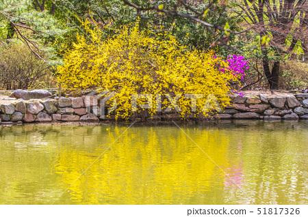 개나리,창경궁,종로구,서울 51817326