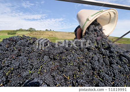 France,Cher,Crezancy en Sancerre, Pinot noir harvest(A.O.C Sancerre)from the domain of Dominique Cro 51819991