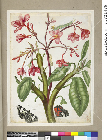 Merian,Maria Sibyll Pink-flowered plant with examples of two butterflies 51821486