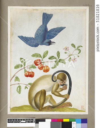 Merian,Maria Sibyll Example of a blue bird,plant with orange ribbed fruit and a monkey holding its t 51821816