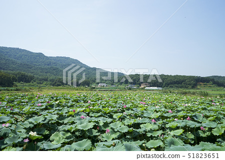 연꽃,고구저수지,교동도,강화군,인천 51823651