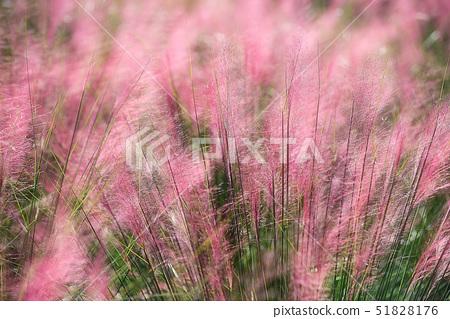 핑크뮬리,나리공원,양주시,경기도 51828176