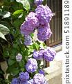 紫色绣球花 51891189