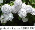 白色绣球花 51891197