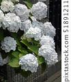 白色绣球花 51891211