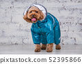 Small funny dog of brown color with curly hair of toy poodle breed posing in clothes for dogs 52395866