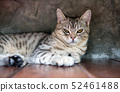 A portrait cat,cute tubby cat with beautiful 52461488