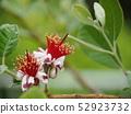 Feijoa's flower 52923732