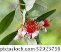 Feijoa's flower 52923736