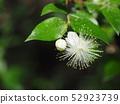Fir flower 52923739