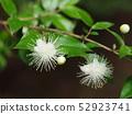 Fir flower 52923741