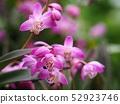 Gingianam flowers 52923746