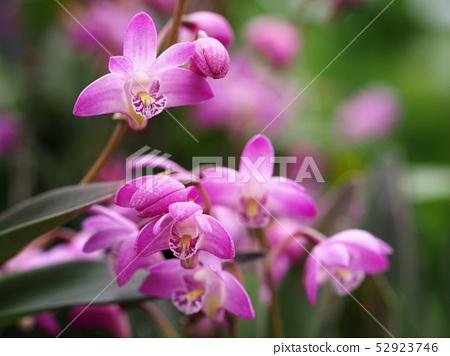 긴기아나무 꽃 52923746